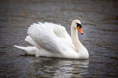 Una natación blanca hermosa del cisne en el río Moldava en Praga imagenes de archivo