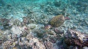 Una natación de la tortuga por un filón almacen de metraje de vídeo