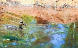 Una natación del anadón fotos de archivo