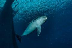 Una natación del delfín en el Mar Rojo, Eilat Israel a e imágenes de archivo libres de regalías