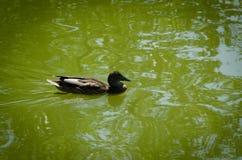 Una natación del pato en el lago Foto de archivo libre de regalías