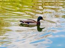Una natación del pato macho en la charca del jardín de Ekaterininsky en Moscú Fotos de archivo libres de regalías