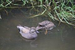 Una natación del pato del pato zambullidor en una charca imagenes de archivo