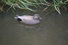 Una natación del pato del pato zambullidor en una charca imágenes de archivo libres de regalías