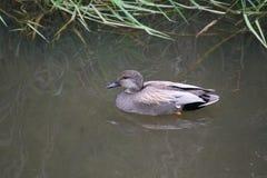 Una natación del pato del pato zambullidor en una charca fotos de archivo libres de regalías