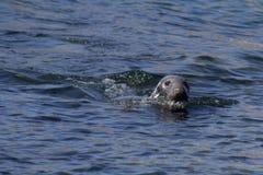Una natación del sello en las islas de Farne imagenes de archivo