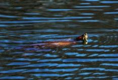 Una natación espigada roja de la tortuga del resbalador en una charca Fotografía de archivo