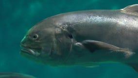 Una natación fea de los pescados metrajes