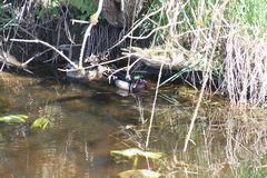 Una natación masculina colorida del pato de madera en una corriente con una hembra adentro fotografía de archivo