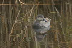 Una natación masculina del strepera de las anecdotarios del pato del pato zambullidor en un lago en el Reino Unido imágenes de archivo libres de regalías
