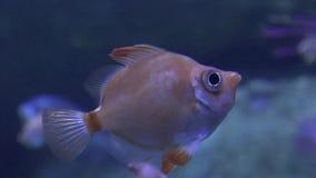Una nataci?n fea de los pescados almacen de metraje de vídeo