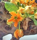 Una natura morta con i fiori arancio del Asclepias fotografie stock