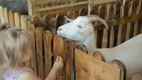 Una niña alimenta verduras de la cabra en un parque zoológico o una granja del contacto metrajes