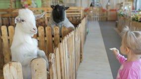 Una niña alimenta verduras de la cabra en un parque zoológico o una granja del contacto almacen de video