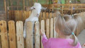 Una niña alimenta verduras de la cabra en un parque zoológico o una granja del contacto almacen de metraje de vídeo