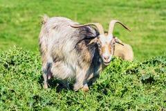 Una niñera Goat Fotos de archivo