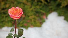 Una nieve color de rosa roja de la flor nadie cantidad del hd almacen de video