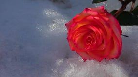 Una nieve color de rosa roja de la flor nadie cantidad del hd almacen de metraje de vídeo