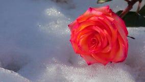 Una nieve color de rosa roja de la flor nadie cantidad del hd metrajes