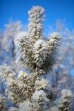 Una nieve sola del priporozhennaya del árbol de navidad en el bosque Imagenes de archivo