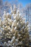 Una nieve sola del priporozhennaya del árbol de navidad en el bosque Fotos de archivo