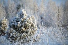 Una nieve sola del priporozhennaya del árbol de navidad en el bosque Imágenes de archivo libres de regalías