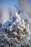 Una nieve sola del priporozhennaya del árbol de navidad en el bosque Imagen de archivo