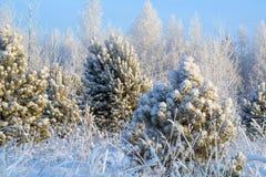 Una nieve sola del priporozhennaya del árbol de navidad en el bosque Fotos de archivo libres de regalías