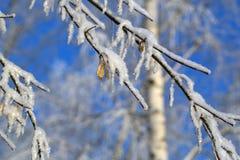 Una nieve sola del priporozhennaya del árbol de navidad en el bosque Foto de archivo