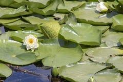 Una ninfea bianca con un centro giallo immagine stock libera da diritti
