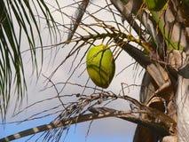 Una noce di cocco sull'albero Fotografie Stock Libere da Diritti