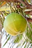 Una noce di cocco sull'albero di noce di cocco fotografia stock libera da diritti