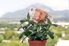 Una nota de la divisa nacional rusa con un valor nominal de cinco mil rublos en un árbol del dinero fotos de archivo