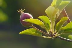 Una nueva cosecha de los manzanos jovenes Poca manzana en una rama joven fotografía de archivo libre de regalías