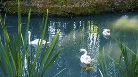 Una nuotata bianca di tre cigni lungo il lago blu Fotografia Stock Libera da Diritti