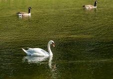 Una nuotata del cigno muto su un lago verde fotografie stock libere da diritti