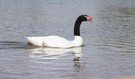 Una nuotata nero-con il collo del cigno su uno stagno al sole Fotografia Stock Libera da Diritti