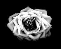 Una ojeada de una rosa Foto de archivo libre de regalías