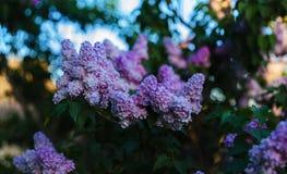 Una opinión amplia del campo de la lila fotografía de archivo