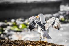Una opinión back- del primer un pájaro de la gaviota que se sienta en superficie de la roca, con las alas abiertas, aleteo, en dí fotos de archivo