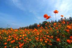 Una opinión del paisaje del campo de flor del cosmos fotos de archivo