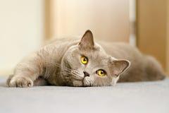 Una opinión del primer un gato británico con amarillo observa la mentira en un azul Foto de archivo libre de regalías