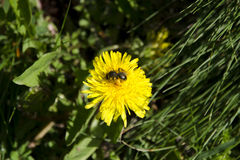 Una opinión del primer una abeja en un diente de león que recoge el polen Fotografía de archivo
