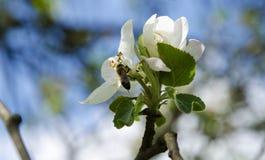 Una opinión del primer una abeja en un flor de la manzana debajo de un cielo azul Fotos de archivo libres de regalías