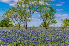 Una opinión granangular colorida hermosa grande quebradiza Texas Field Blanketed con Texas Bluebonnets famoso. Fotografía de archivo libre de regalías