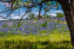 Una opinión granangular hermosa Texas Field Blanketed con Texas Bluebonnets Under famoso un árbol con una cerca vieja. Fotos de archivo libres de regalías