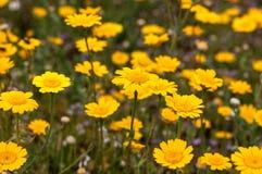 Una opinión macra del ojo del ` s del insecto de un campo de wildflowers amarillos brillantes Imagenes de archivo