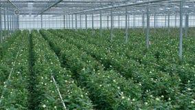 Una opinión panorámica sobre un invernadero grande plantado totalmente con las rosas 4K metrajes
