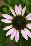 Una opinión superior del primer de un coneflower floreciente, también conocida como purpurea del Echinacea imagen de archivo