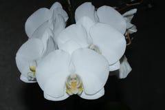 Una orquídea blanca en un fondo negro fotografía de archivo